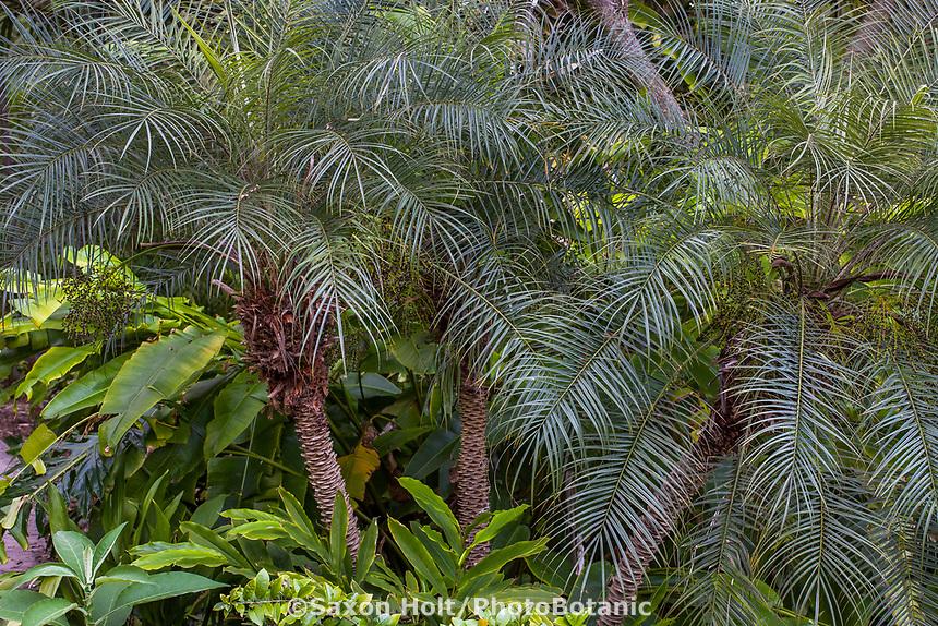 Phoenix roebelenii var. reasoneri (Clustering Pygmy Date Palm Tree or Reasoneri Palm) at San Diego Botanic Garden