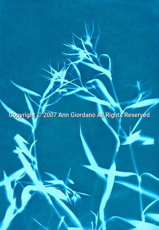 Cyanotype Print of Dianthus