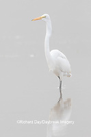 00688-02511 Great Egret (Ardea alba) feeding in wetland in fog, Marion Co., IL