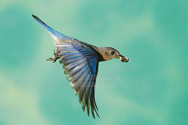 Eastern Bluebird, Sialia sialis, male in flight with fecal sac, Willacy County, Rio Grande Valley, Texas, USA, April 2004