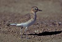 Mountain Plover - Charadrius montanus - Juvenile