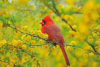 Male Northern Cardinal (Cardinalis cardinalis) sitting in huisache tree.  Texas.  Spring.