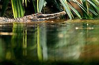 Riesentropenhalle Gondwanaland im Leipziger Zoo kurz vor der Eröffnung, auf über 16.000 qm werden exotische Tiere und Pflanzen von verschiedenen Erdteilen gezeigt - in der Tropenerlebniswelt gibt es neben einer Höhle für nachtaktive Tiere noch eine Bootsfahrt durch den Regenwald und einen Baumwipfelpfad als Attraktionen - im Bild: Blick in die grüne Vielfalt - der Sundagavial gut getarnt in seinem Gehege . Foto: aif / Norman Rembarz..Jegliche kommerzielle wie redaktionelle Nutzung ist honorar- und mehrwertsteuerpflichtig! Persönlichkeitsrechte sind zu wahren. Es wird keine Haftung übernommen bei Verletzung von Rechten Dritter. Autoren-Nennung gem. §13 UrhGes. wird verlangt. Weitergabe an Dritte nur nach  vorheriger Absprache. Online-Nutzung ist separat kostenpflichtig..