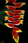 Helicona Flower, Belize, rainforest, backlight red and yellow