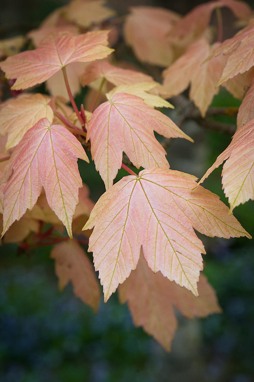Acer pseudoplatanus 'Brilliantissimum', early May.