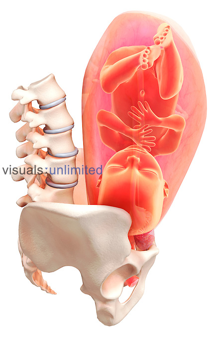 Pregnancy at approx. full term (9 months). A lateral view (right side) of the uterus relative to the pelvis is shown. The uterus is semi-transparent. Royalty Free