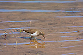 Common Sandpiper (Actitis hypoleucos) Has a habit of bobbing up and down, and its rapid, stiff-winged flight low over the water. Summer visitor to upland rivers, lakes, and other bodies of water.