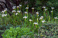 'Canyon Snow' California native Pacific Coast Iris flowering in California native plant garden; Katherine Greenberg