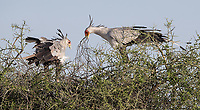 We had a nice encounter with a pair of Secretary birds, which were actively working on their nest. Here, the male has returned home with more nesting materials.