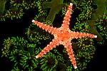 Spiny Sea Star (Gomophia egeria) on Green Tube Coral (Tubastrea micrantha) at night, Fiji.