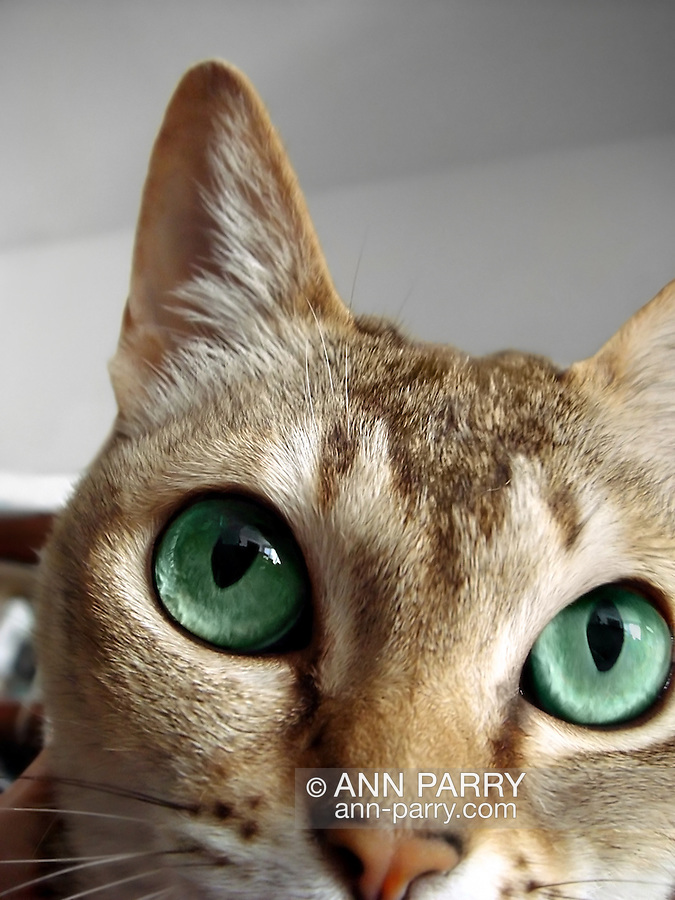 Close up of curious Singapura cat with very large green eyes.