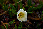 Dryas octopetala, Mountain Avens in Tundra, Denali National Park