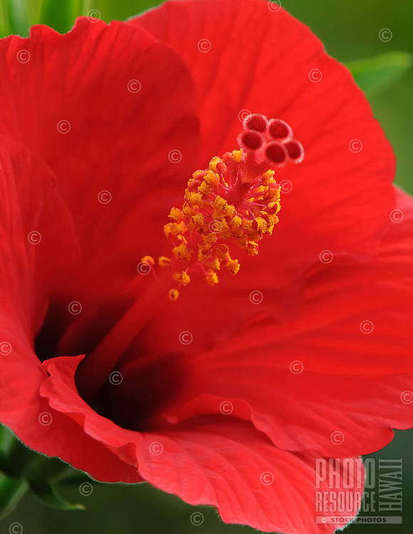 A close-up of a red hibiscus on Kaua'i.