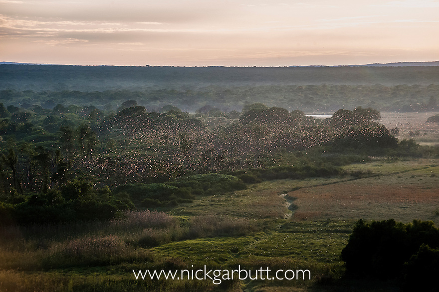 Aerial view (taken just after sunrise) of millions of Straw-coloured Fruit Bats (Eidolon helvum) circling over the distinct patch of Mushitu' or ever-green swamp forest, where they migrate too (Oct - Dec) and roost during the day. Kasanka National Park, Zambia.