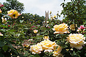 The rose garden in front of the Duke Chapel Quad.