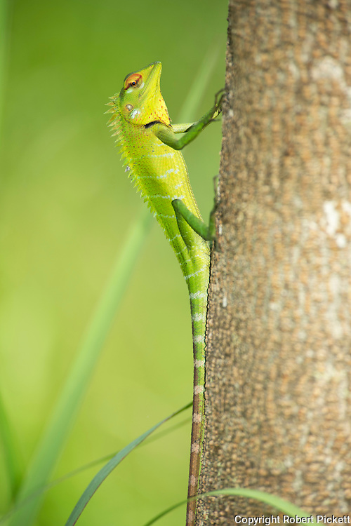 Common Green Forest Lizard, Calotes calotes, Sinharaja World Heritage Site, Sri Lanka, climbing up tree trunk, showing long tail