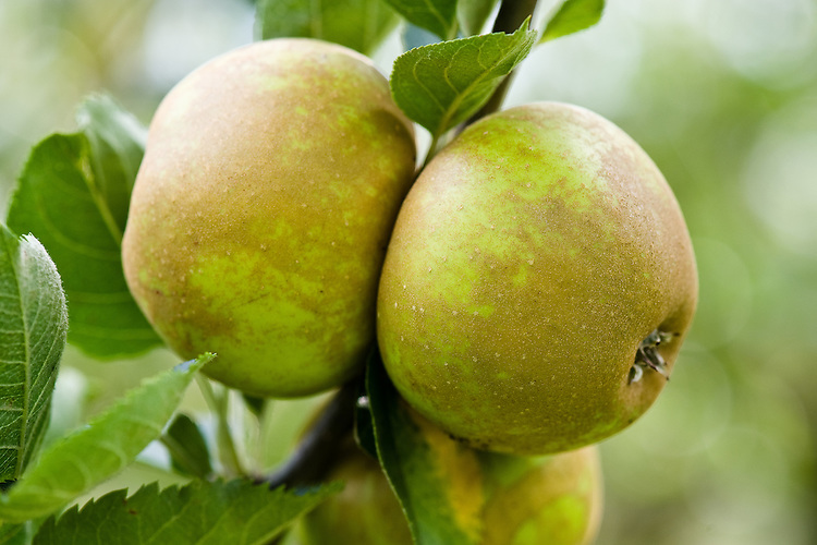 Apple 'Improved Ashmead's Kernel', mid September. A more russetted version of 'Ashmead's Kernel', from E. Bunyard, Maidstone, Kent, in 1939.