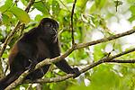Mantled Howler Monkey (Alouatta palliata) female in tree, Tortuguero National Park, Costa Rica