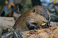 North American Beaver (Castor canadensis) chewing on fallen cottonwood tree, Western U.S., Fall.