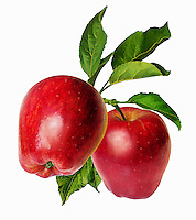 Two red apples with leaves on stem
