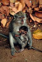Nursing baby monkey and mother, Bali, Indonesia