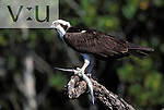 Osprey with fresh catch. ,pandion haliaetus, Ding Darling National Wildlife Refuge, Florida