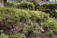 Evergreen shrub hedge, Vine Hill Manzanita, Arctostaphylos densiflora in Kyte California native plant garden