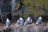 35-B04-KB-020    BLACK-LEGGED KITTIWAKES (Rissa tridactyla), adults with chicks nesting on rocky ledges, Cape St. Mary's Ecological Reserve, Newfoundland, Canada                 .