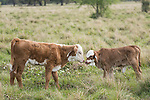 Brazoria County, Damon, Texas; a pair of spotted, newborn calves greet each other, while standing in a pasture with wildflowers