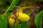 Large Yellow Lady's Slipper (Cypripedium pubescens) in the wild gardens at Sieur de Monts, in Acadia National Park, Maine, USA