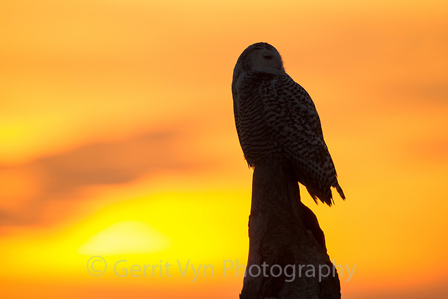 Snowy Owl (Bubo scandiacus) still hunting form a prominent driftwood perch at sunset along the Washington coast. Grays Harbor County, Washington. December.
