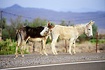 Ratty white and gray jackasses along highway US 95 in central Nevada.