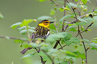 Male Cape May Warbler (Setophaga tigrina).  Great Lakes Region.  May.
