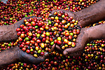 Handful of coffee cherries on a coffee farm on the slopes of the Santa Ana Volcano in western El Salvador.  (Property Released)
