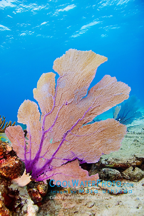 Sea Fan, Gorgonia sp., growing on Sugar Wreck, the remains of an old sailing ship that grounded many years ago, West End, Grand Bahamas, Atlantic Ocean
