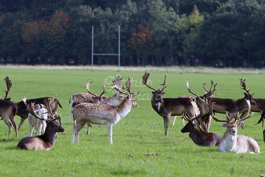 Deer are pictured wandering around Phoenix Park, Dublin, Ireland