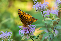 Courtesy photo/TERRY STANFILL<br /> IN FOR A LANDING<br /> A great spangled fritillary butterfly lands on wildflowers in mid July near Swepco Lake one mile west of Gentry.