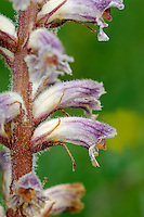 COMMON BROOMRAPE Orobanche minor (Orobanchaceae) Height to 40cm. Upright, unbranched annual that usually has a purplish-tinged stem. Whole plant lacks chlorophyll and is entirely parasitic on the roots of Pea family members, notably clovers, and other herbaceous plants. Found in grassy places and scrub, and on verges. FLOWERS are 10-18mm long, the corolla pinkish yellow with purple veins, tubular with smoothly curved dorsal surface, and 2-lipped; in open, upright spikes (Jun-Sep). FRUITS are egg-shaped capsules, concealed by the dead flowers. LEAVES are scale-like. STATUS-Locally common in central and S England, Wales and S Ireland.