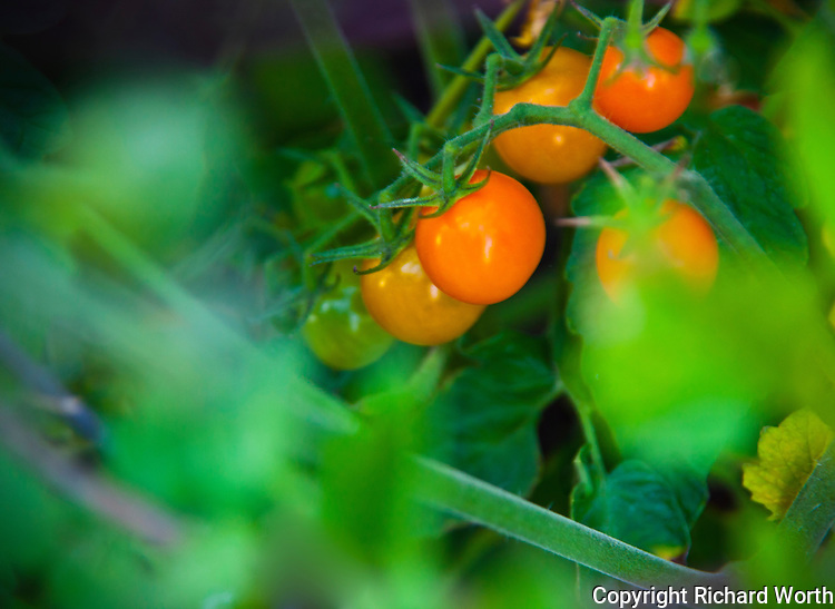 Tiny cherry tomatoes ripening on the vine.