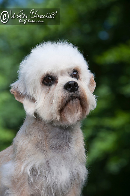 Dandie Dinmont Terrier<br /> <br /> <br /> <br />  Shopping cart has 3 Tabs:<br /> <br /> 1) Rights-Managed downloads for Commercial Use<br /> <br /> 2) Print sizes from wallet to 20x30<br /> <br /> 3) Merchandise items like T-shirts and refrigerator magnets