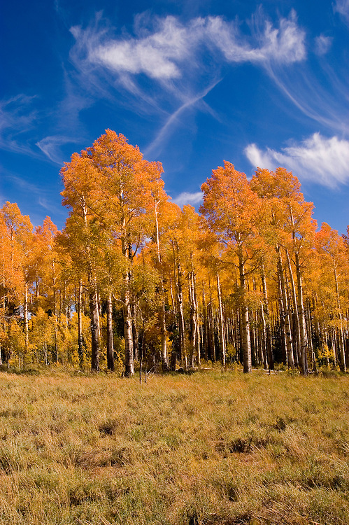 Golden Aspen leaves, aspen trees in fall, white bark, autumn, fall leaves, fall color, Markagunt Plateau, Cedar Mountain, Hwy 132, Mile Marker 24, Dixie National Forest, Utah, UT, Image ut329-17480, Photo copyright: Lee Foster, www.fostertravel.com, lee@fostertravel.com, 510-549-2202