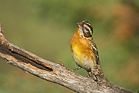 538660026 a wild female black-headed grosbeak pheucticus melanocephalus perches on a pine bough in madera canyon green valley arizona united states