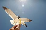 Seagull pursuing corn chip.
