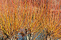 Coral bark willow or scarlet willow (Salix alba var. vitellina 'Yelverton'), end January.
