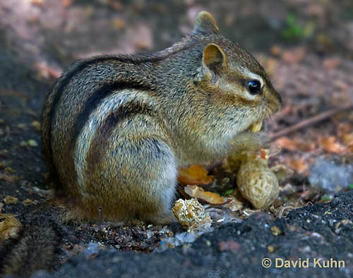 0701-1004  Eastern chipmunk Eating a Roasted Peanut, Tamias striatus  © David Kuhn/Dwight Kuhn Photography