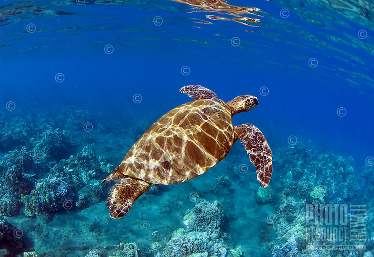 Green sea turtle in Lahaina, Maui, Hawaii.