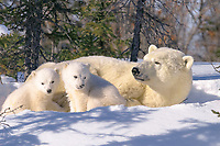 polar bear, Ursus maritimus, mother with 3 months old cubs, Wapusk Park, Manitoba, Canada, Arctic Circle