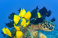 green sea turtle, Chelonia mydas, being cleaned by yellow tang, Zebrasoma flavescens, and kole tang, Spotted surgeonfish, goldring surgeonfish, or yellow-eyed tang, Ctenochaetus strigosus, Kona Coast, Big Island, Hawaii, USA, Pacific Ocean