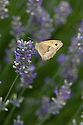 Gatekeeper butterfly (Pyronia tithonus), feding on lavender bush, early August.