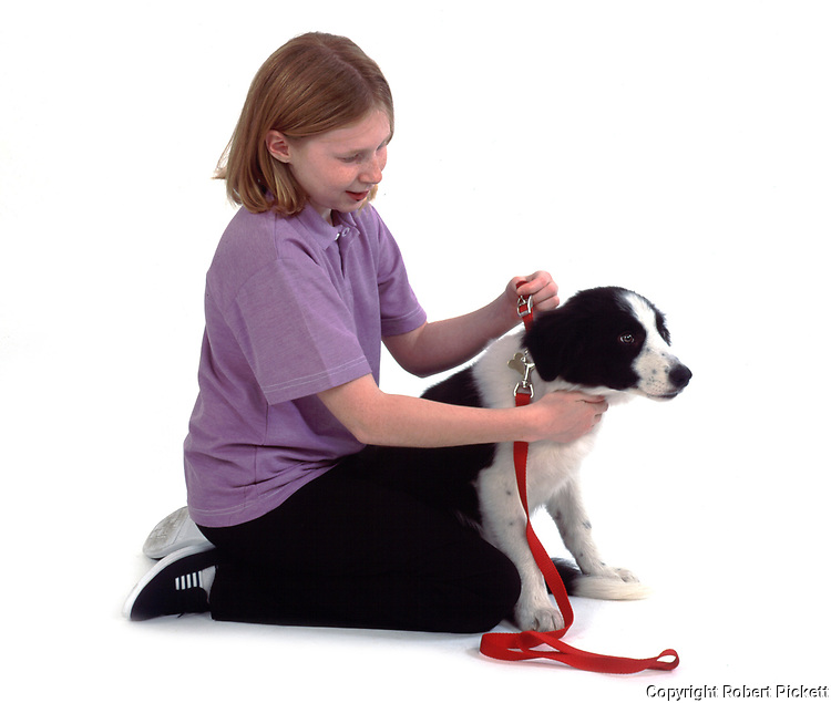 Young girl, 11 years old, putting lead on puppy border collie dog , studio, white background, cut out, pet